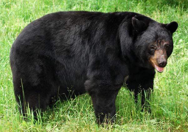 crni medved
