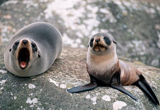 Mora i okeani Fur-seal-baby
