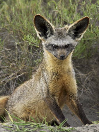 What Type Of Food Does A Red Fox Eat
